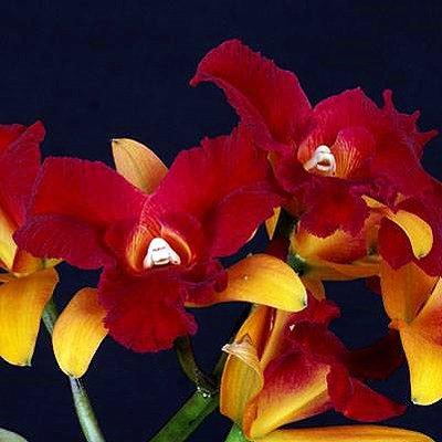 SC100 Orchid Plant