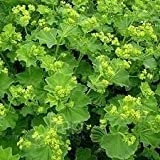 Alchemilla Mollis plants in 17cm pots. Lady 's Mantle.