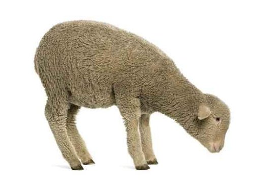 Animal Wall Decals Merino Lamb - 24 Inches X 17 Inches - Peel And Stick Removable Graphic front-775758