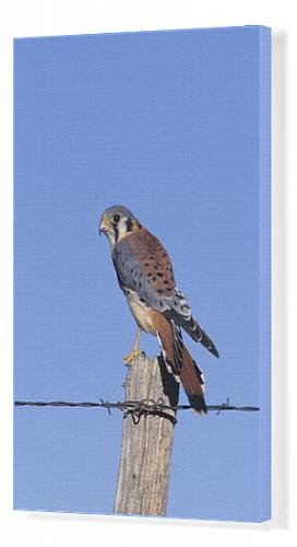 canvas-print-of-american-kestrel-falco-sparverius-male-on-fence-post-colorado