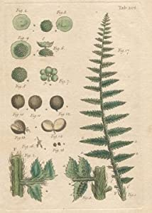 FERN Illustration by John Miller Botanical Studies from 1779. Poster print.