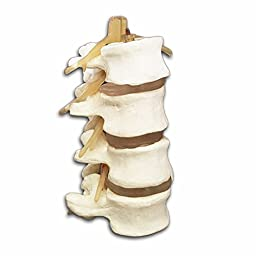 4-Part Human Lumbar Vertebrae Spine Set Anatomy Model