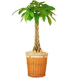 パキラは部屋をおしゃれに演出してくれる観葉植物
