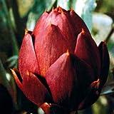 【PLANT】Heirloom Artichoke Romanesco エアルーム・アーチチョーク(アーティチョーク)・ロマネスコ(2苗)*2017年農場新設の為の在庫処分セール・苗商品のみ(種子商品や送料含まず)合計¥1,080以上でご注文下さい。