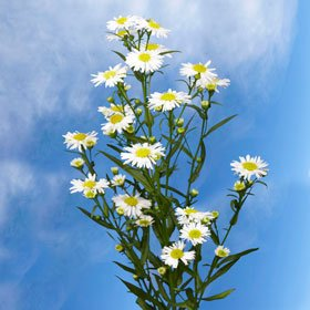 Aster White 10 Bunches
