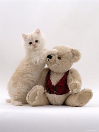 Domestic Cat, Cream Fluffy Kitten Playing  Teddy