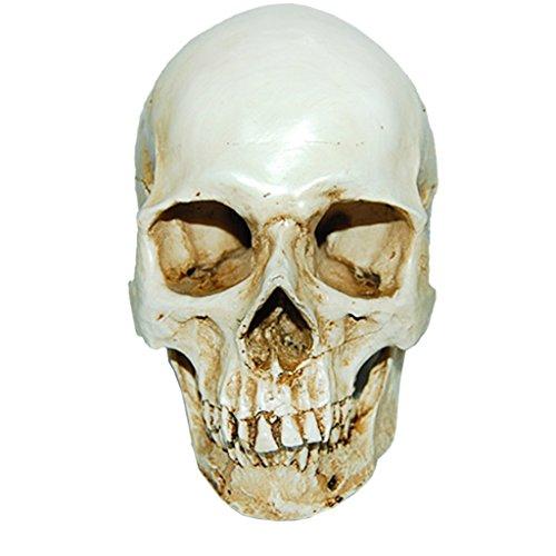 Modèle 1: 1 Crâne Humain en Résine Enseignement Anatomique Décoration