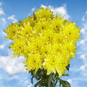 Pom Poms Yellow Cushion 144 Flowers