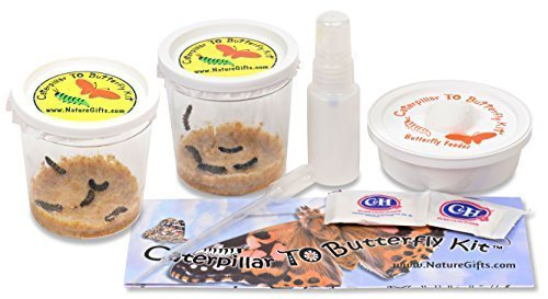 10 Live Caterpillars Shipped Now: Butterfly Kit Refill