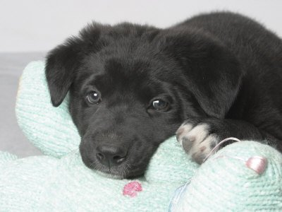 Puppy Lying on Stuffed Animal Toy Photographic Poster Print by Steve Starr, 12x16