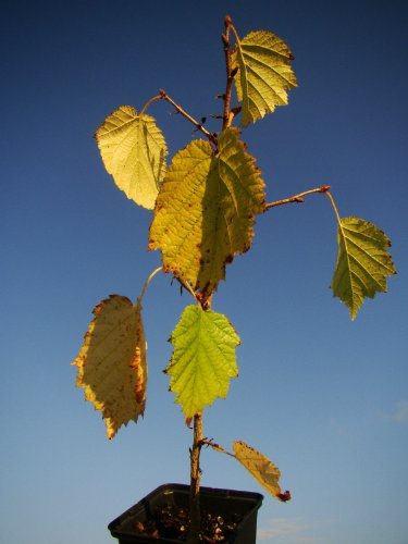 turkish-hazel-tree-corylus-colurna-in-9cm-pot-edible-nuts