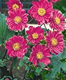 Anemone hupehensis var. japonica 'Pamina' - Anemone, Japanese