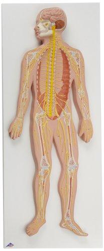 3B Scientific C30 Nervous System Model, 1/2 Life Size, 31.5