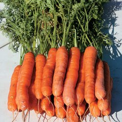 Carrot YaYa Hybrid - Park Seed Carrot Seeds - Buy Carrot YaYa Hybrid - Park Seed Carrot Seeds - Purchase Carrot YaYa Hybrid - Park Seed Carrot Seeds (Park Seed, Home & Garden,Categories,Patio Lawn & Garden,Plants & Planting,Outdoor Plants,by Moisture Needs,Regular Watering)