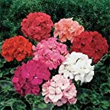 Outsidepride Geranium Mix - 100 Seeds
