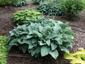 Funkie 'Krossa Regal' - Hosta nigrescens 'Krossa Regal' - Schattenstaude von Native Plants