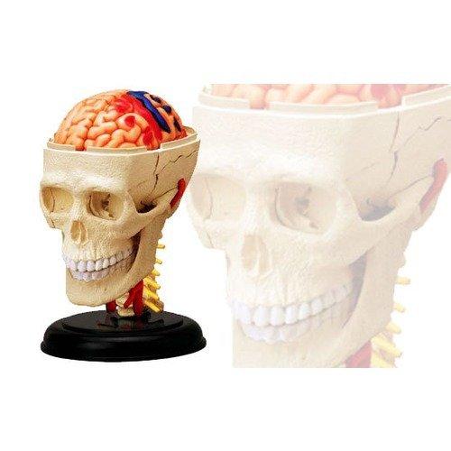 スカイネット 立体パズル 4D VISION 人体解剖 No.04 頭解剖モデル