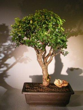 Bonsai Boy S Baby Jade Bonsai Tree Portulacaria Afra Great Buy Anh080420141