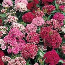 Sweet William Dwarf Double Pinocchio mixed seeds