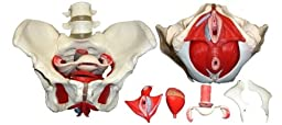 Wellden Product Medical Anatomical Female Pelvis Model with Removable Organs, 6-part, Life Size