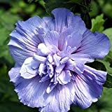 Amazon / Hirts: Trees & Shrubs; Hibiscus: Blue Chiffon TM Hibiscus syriacus Notwoodthree - Rose of Sharon - Proven Winner