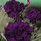 Outsidepride Carnation King of Blacks - 1000 Seeds
