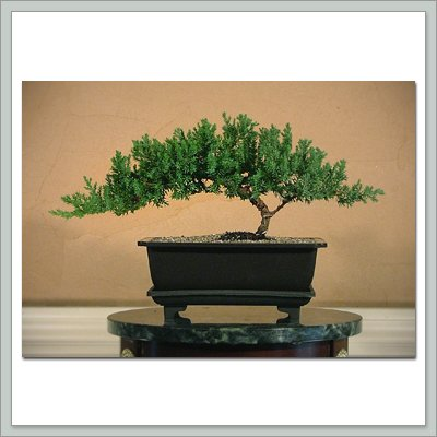 Joebonsai Bonsai Tree in Training - Juniper