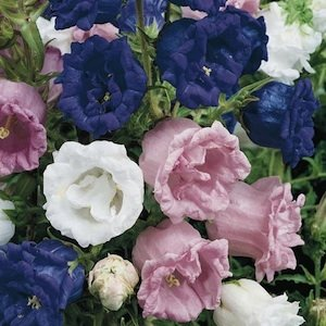 50+ Heirloom Double Campanula Canterbury Bells Perennial Flower Seeds Mix