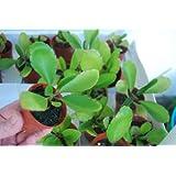 Bryophyllum Pinnatum Kalanchoe Pinnata Miracle Leaf Life Love Plant!