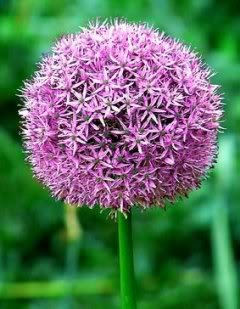 25 GIANT ALLIUM GLOBEMASTER Allium Giganteum Flower Seeds