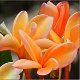 """Orange Plumeria Rooted PLANT - not cutting! Fragrant Oranges Stout 12""""-14"""" well-rooted plant"""