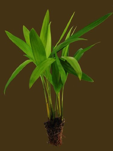2 Pots of Areca Palm Seedlings