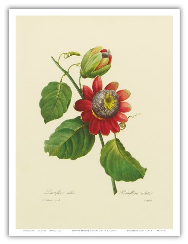 Passion Flower (Passiflora incarnata) - From the Book: Choix des Plus Belles Fleurs (Choice of the Most Beautiful Flowers) - Vintage Botanical Illustration by Pierre-Joseph Redout? c.1833 - Hawaiian Master Art Print - 9in x 12in