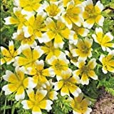 Flower - Kings Seeds - Pictorial Packet - Limnanthes Douglasii - Poached Egg Plant