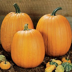 Buy Pumpkin Howden – Park Seed Pumpkin Seeds
