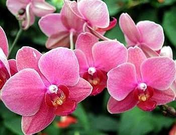 Harmony Rose Phalaenopsis Moth Orchid Plant