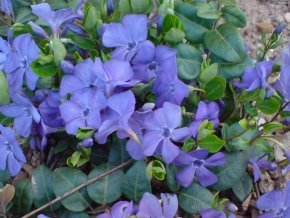 24 x blaues immergr n vinca minor sch ner bodendecker von native plants. Black Bedroom Furniture Sets. Home Design Ideas