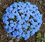 250 DWARF BLUE BEDDER AGERATUM aka Floss Flower Ageratum Houstonianum Flower Seeds
