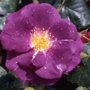 rose-rhapsody-in-blue
