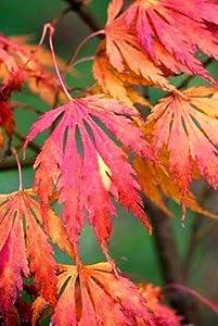 Omurayama Japanese Maple 3 - Year Graft