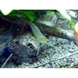 ヤマトヌマエビ10匹+水草フロックビットおまけ(保証有)【こだわりの生体をお届けします 名生園】