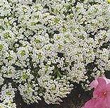 ALYSSUM - CARPET OF SNOW - 40,000 SEEDS - ANNUAL
