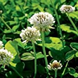 Outsidepride White Dutch Clover Seed: Nitro-Coated, Inoculated - 5 LBS