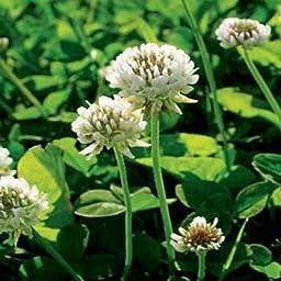 Outsidepride White Dutch Clover Seed: Nitro-Coated, Inoculated - 10 LBS