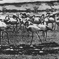 Kellarissa - Flamingo