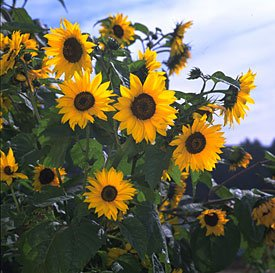 Sunflower Seeds Mammoth Grey Stripe - 1/4 LB