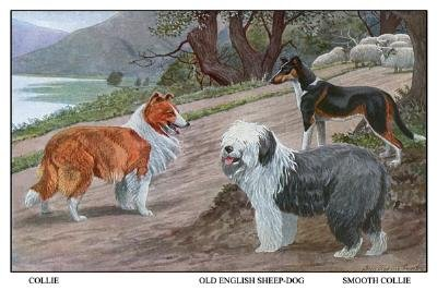 Collie, Old English Sheep Dog, Smooth Collie by Louis Agassil Fuertes