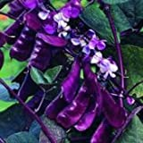 Outsidepride Hyacinth Bean Red Leaved - 100 Seeds
