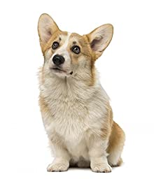 Wallmonkeys WM15586 Welsh Corgi Pembroke (7 Months Old) Peel and Stick Wall Decals (18 in H x 15 in W)