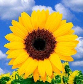 Sunflowers Yellow 100 Flowers